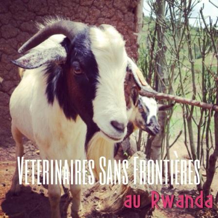 VSF Rwanda Goat