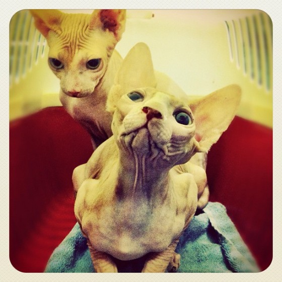 Sphynx Naked Brothers Patients Sphynx