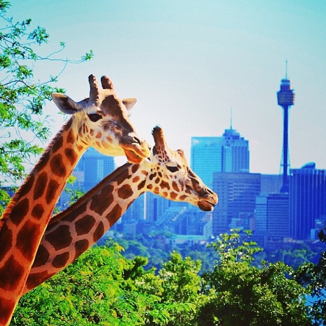 Girafes Skyline