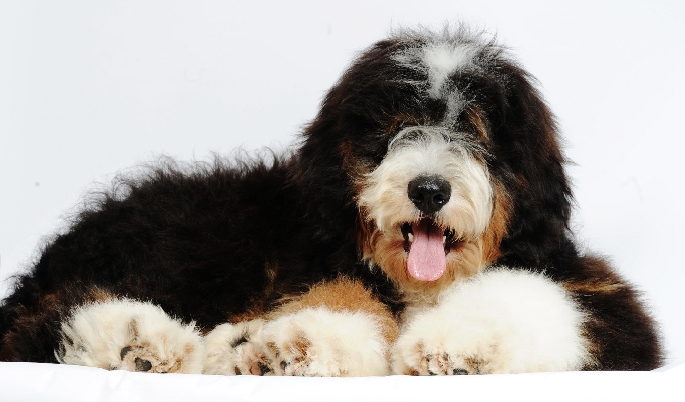 Displaying 18 gt images for bernedoodle puppies