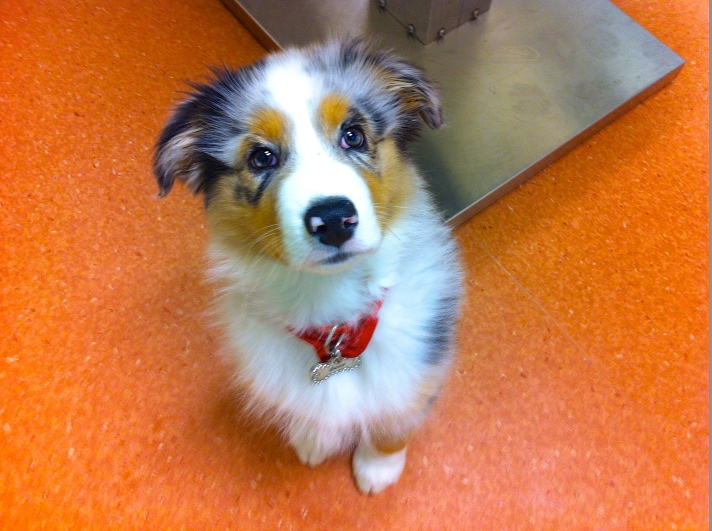 'Beau' came in for a puppy vaccination. Absolutely gorgeous little critter. Any guesses on what breed he is
