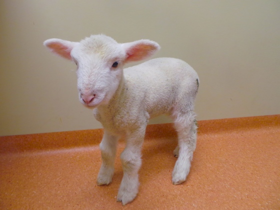 There is nothing cuter than a poddy pet lamb. This little one is thriving in the care of her loving and dedicated owners