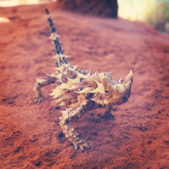 thornydevil