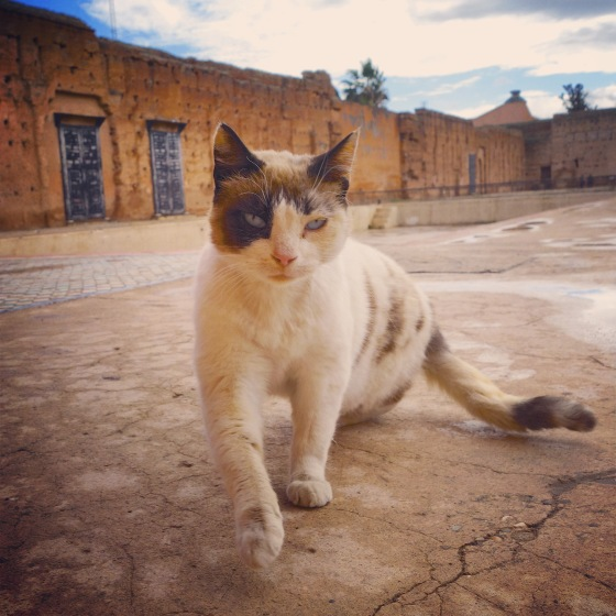 Chat Marrakech Badii avance 2