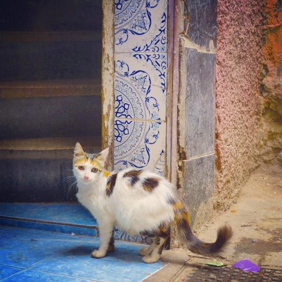 Chat Marrakech jeune femelle tricolore