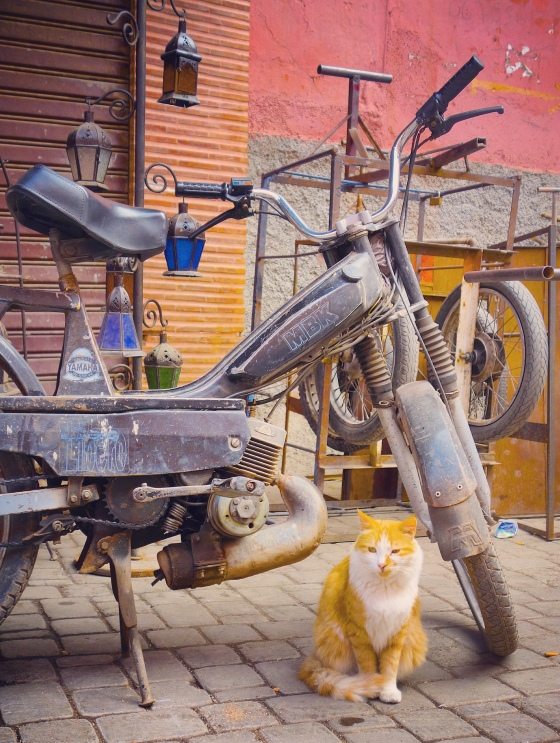 Chat Marrakech roux MBK