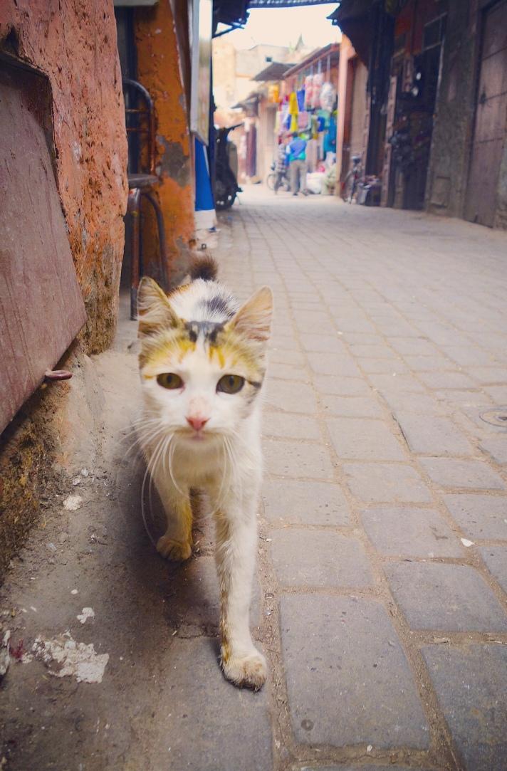 Chat Marrakech tricolore ruelle proche