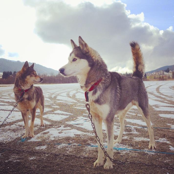 2 chiens carré