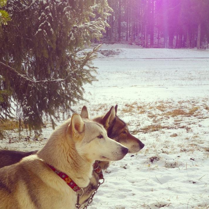 2 chiens profil carré