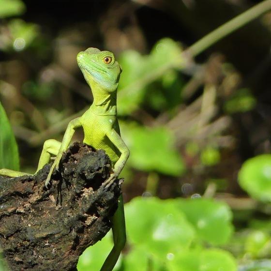 JC Lizard
